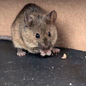 Muizen en Rattenbestrijding